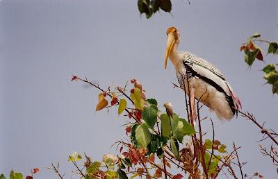 A painted stork, Kaggaladu, Sira, Tumkur