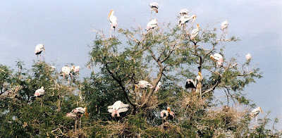 Painted storks nesting inside Kaggaladu, Sira Taluk, Tumkur District