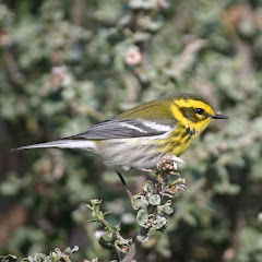 Townsend&#39;s Warbler