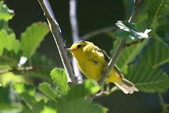 Wilson's Warbler (Wilsonia pusilla chryseola)