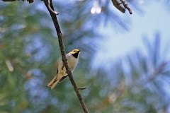 Hermit Warbler (Dendroica occidentalis)