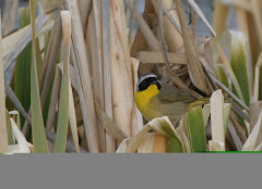 Common Yellowthroat (Geothlypis trichas)