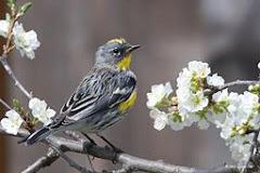 (Audubon's) Yellow-Rumped Warbler