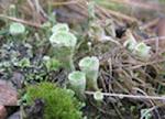 UK Lichens
