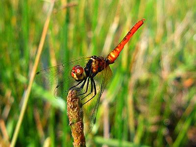 Dragonfly, Nannophya pygmaea