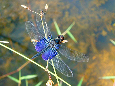 Dragonfly, Rhyothemis triangularis