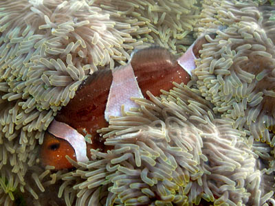 carpet anemone, Stichodactyla gigantea, with clownfish, Amphiprion ocellaris