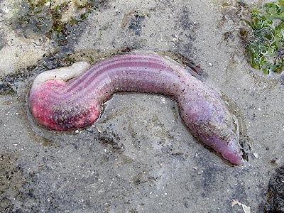 Spoonworm