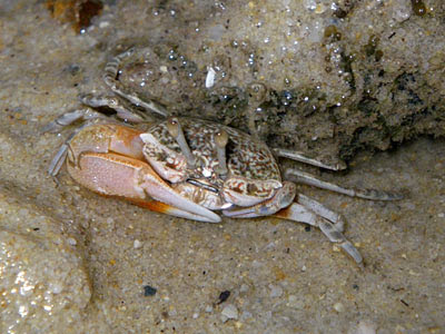 Orange Fiddler Crab (Uca vocans)