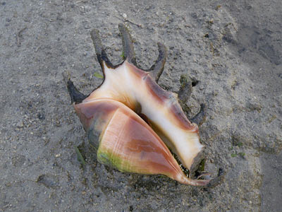 Spider Conch (Lambis lambis)