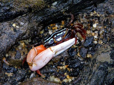 Porcelain Fiddler Crab (Uca annulipes)