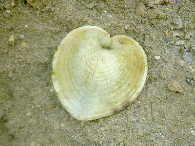 Heart Cockle (Corculum cardissa)