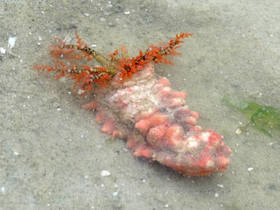Pink thorny sea cucumber, Colochirus quadrangularis