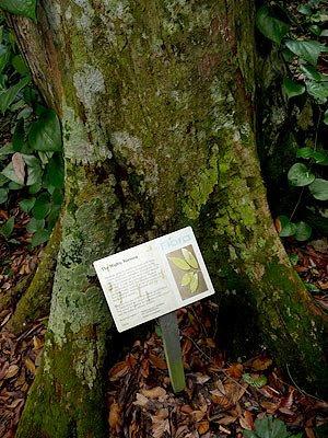 keruing,  Dipterocarpus caudatus