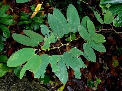 Buttefly vine, Bauhinia sp.