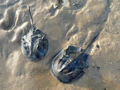 mangrove horseshoe crabs