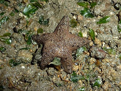 Rock star, Asterina coronata