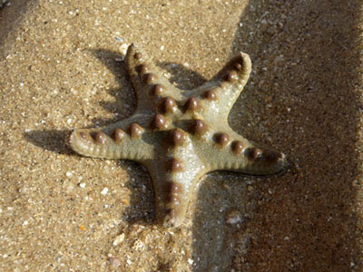 Horned sea star, Protoreaster nodosus