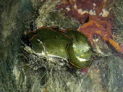 leaf slug, Elysia ornata