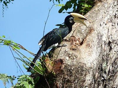 Oriental Pied-hornbill, Anthracoceros albirostris