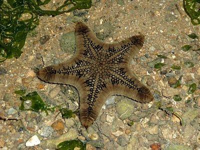 biscuit starfish, Goniodiscaster scaber