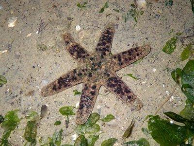Starfish, Six-armed scaly sea star, Nepanthia belcheri