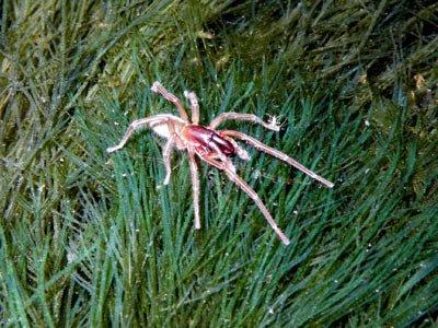 Marine spider, Desis sp.