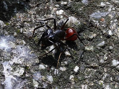 Giant forest ant, Camponotus gigas