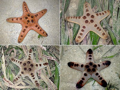 Starfish, Knobbly sea stars (Protoreaster nodosus)