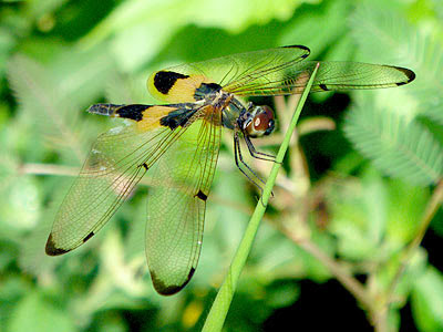 Dragonfly (Rhyothemis phyllis)