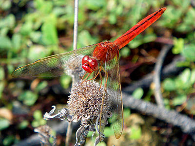 Dragonfly (Crocothemis servilia)