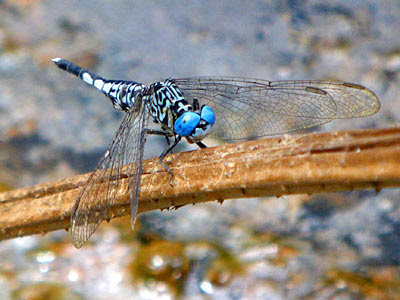 Dragonfly, Acisoma panorpoides