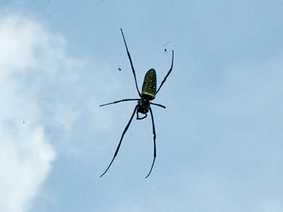 Batik golden web spider (Nephila antipodiana)