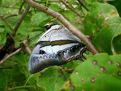 blue nawab butterfly (Polyura schreiber tisamenus)