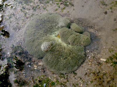 Carpet anemones (Stichodactyla haddoni)