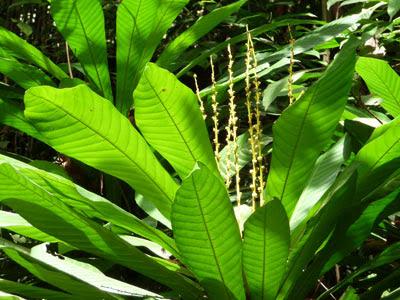 Leaf litter plant (Agrostistachys longifolia)