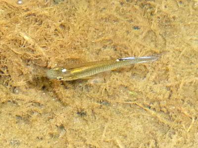Whitespots (Aplocheilus panchax)