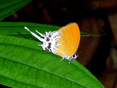 Branded imperial butterfly (Eooxylides tharis distanti)