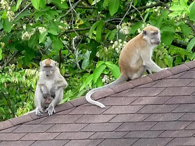 Long-tailed macaques (Macaca fascicularis)