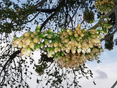 Kapok tree (Ceiba pentandra) flowers