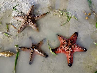 Knobbly Sea Stars (Protoreaster nodosus)
