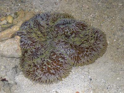 Giant Carpet Anemone (Stichodactyla gigantea)