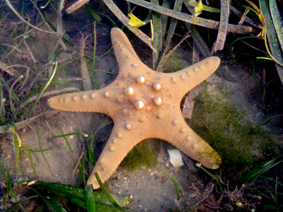 Knobbly Sea Star (Protorester nodosus)