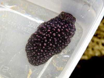 Black Phyllid Nudibranch (Phyllidiella nigra)
