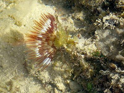 Fanworm (probably Sabellastarte indica)