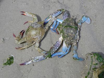 Flower Crabs (Portunus pelagicus)