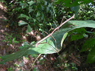 Stick Insect (Order Phasmatodea)