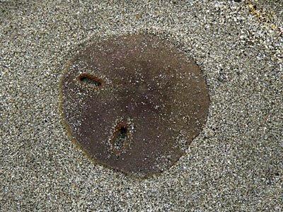Keyhole Sand Dollar