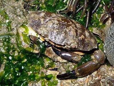 Spooner Crabs (probably Leptodius sp.)