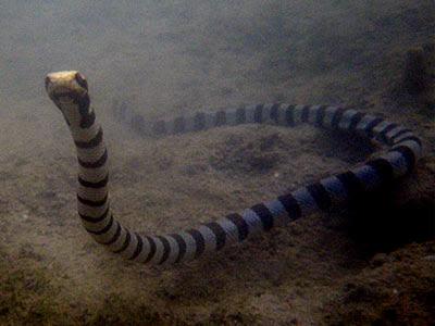Yellow-lipped Sea Krait (Laticauda colubrina)